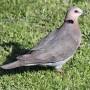 red-eyed_dove_rwd1.jpg