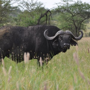 Serengeti Buffalo