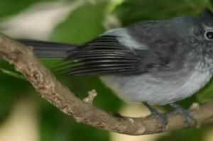 blue-mantled_crested_flycatcher.jpg