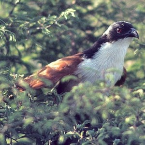 burchellcoucal.jpg