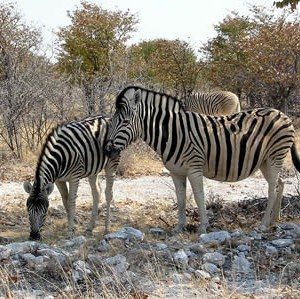 zebras_etoscha.jpg