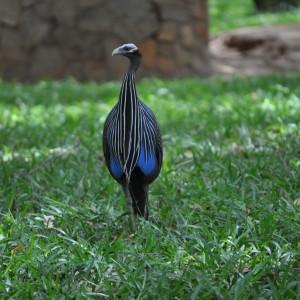 Kenys guinea fowl